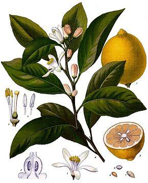 le citronnier Citrus10