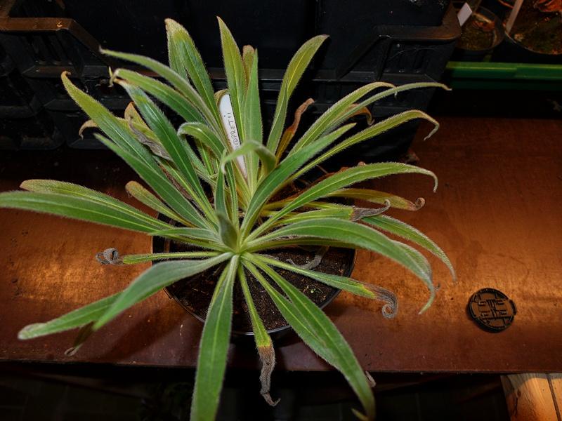 Echium wildpretii - Seite 2 00910