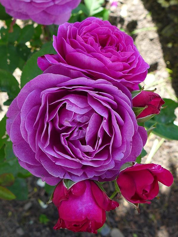 """Rosen - ein Thread für die """"Königin"""" - Seite 9 02310"""