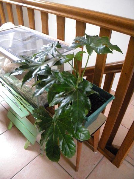 Mon petit coin de verdure (junilau) Aralia10