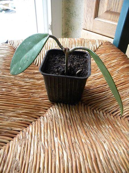 Mon petit coin de verdure (junilau) Hoya-010