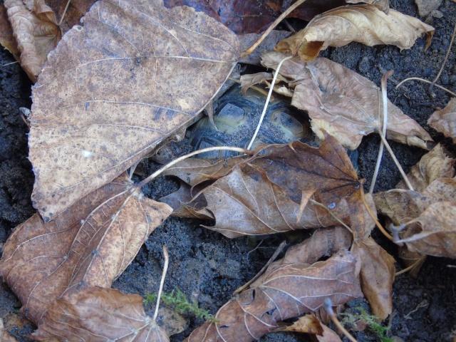 Hibernation de Sissi la petite boettgeri Dsc00510