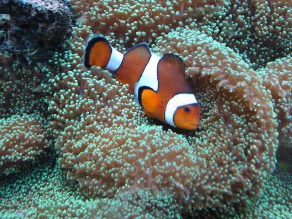 Les coraux faciles Rodhat10