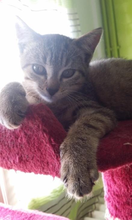 Josy, femelle de type européen, tigrée grise née le 04/08/2014 20141111