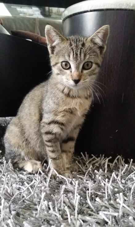 Josy, femelle de type européen, tigrée grise née le 04/08/2014 20141112