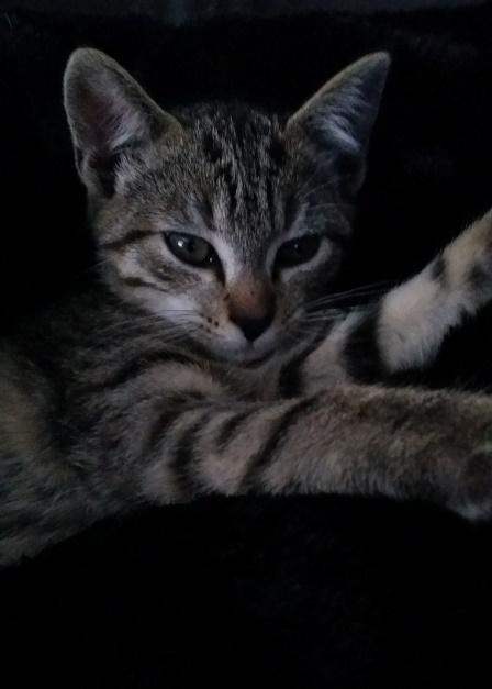 Josy, femelle de type européen, tigrée grise née le 04/08/2014 20141113