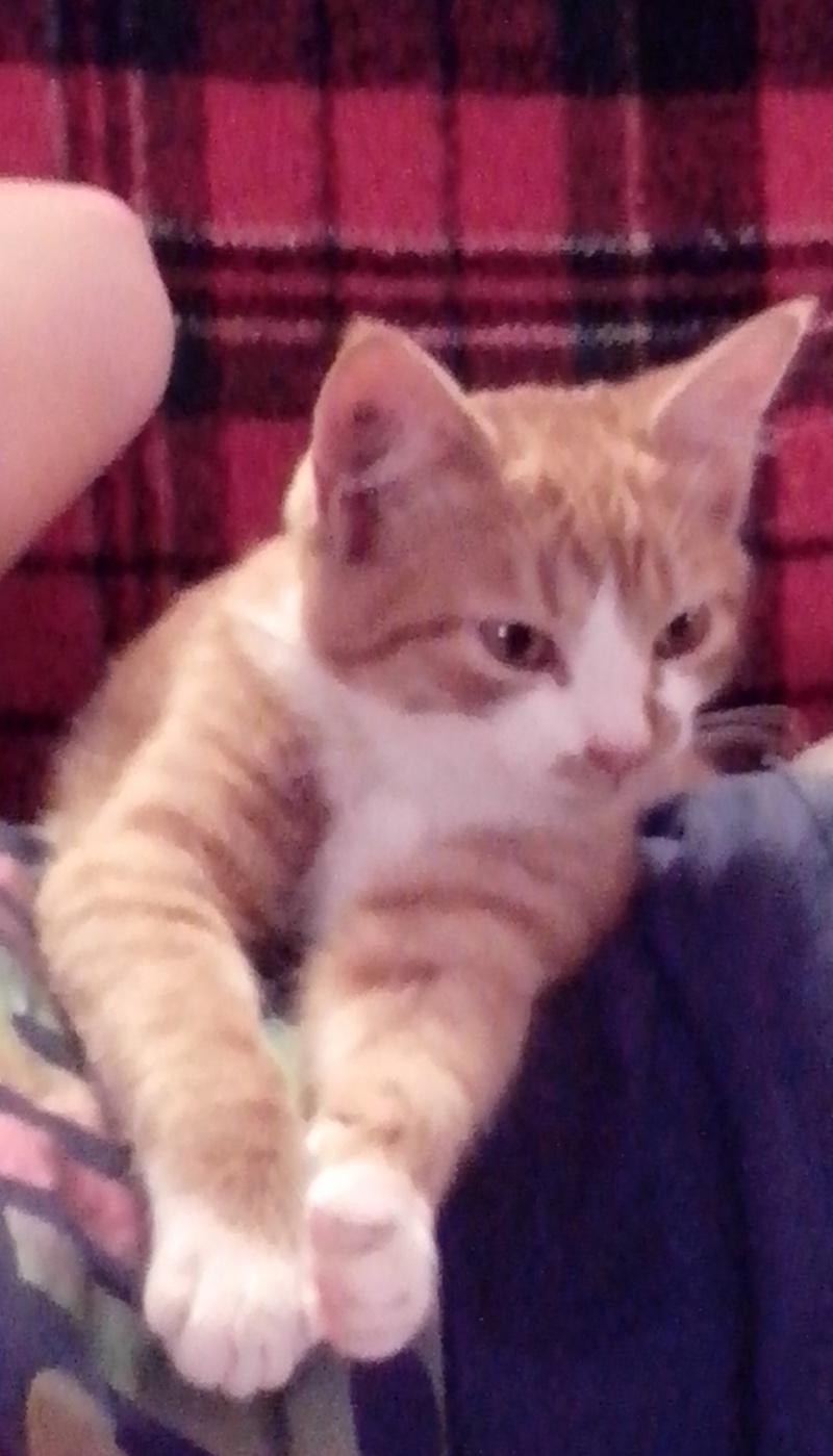 Jumanji, chaton type européen roux et blanc, né 15/06/2014 Img_2010