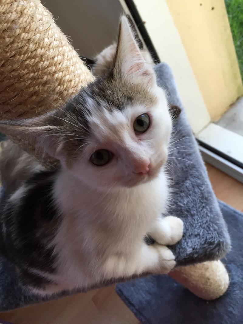 Janah, chatonne de type européen tigrée et blanche, née le 01/09/14 Img_3510