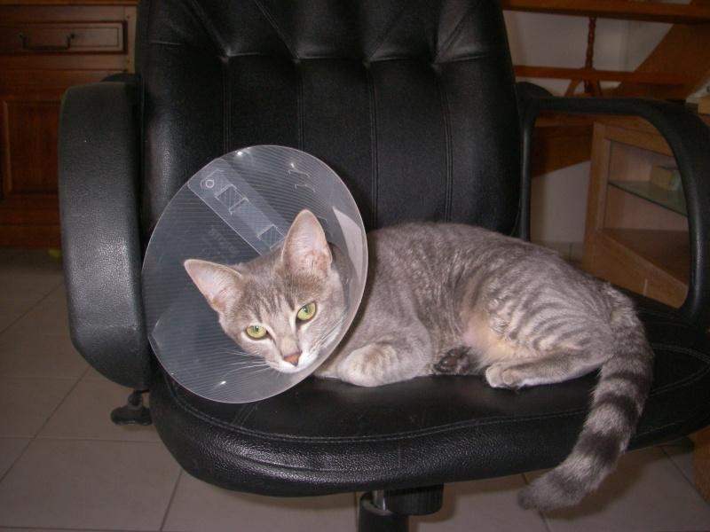 Jadore, chatonne grise tigrée  née en mai 2014  Imgp0010