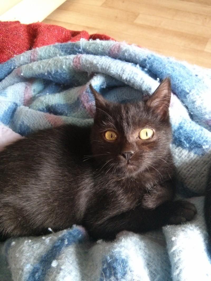 jasper - Jasper, chaton de type européen noir, né le 06/09/2014 en sauvetage! Jasper10