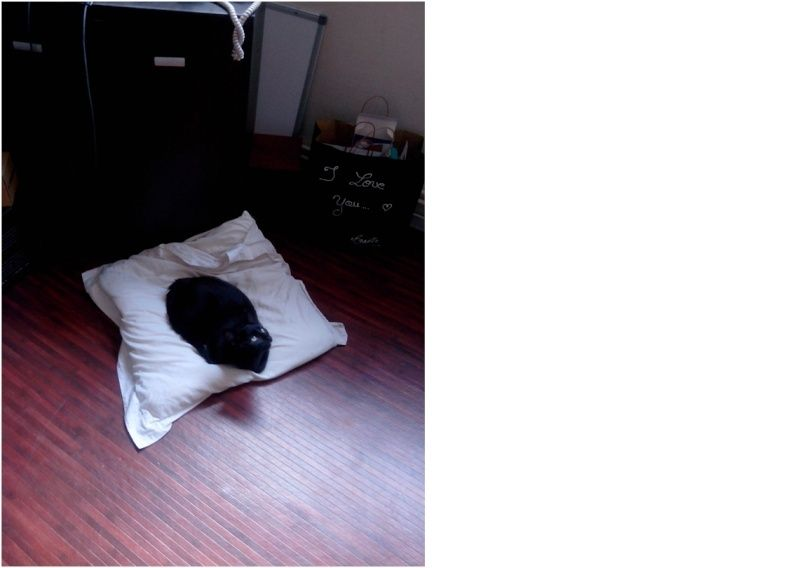 Jolicoeur, chaton type européen, noir née le 01/07/2014 Jloi10