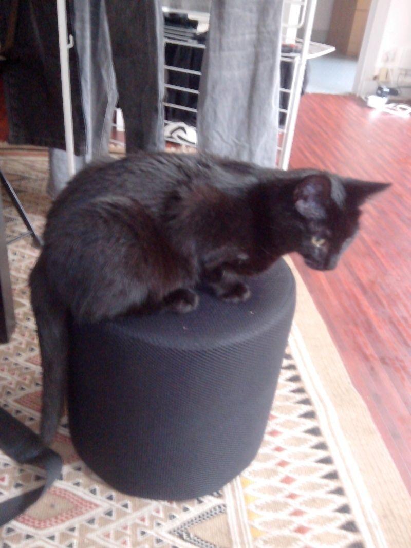 Jolicoeur, chaton type européen, noir née le 01/07/2014 Jo10