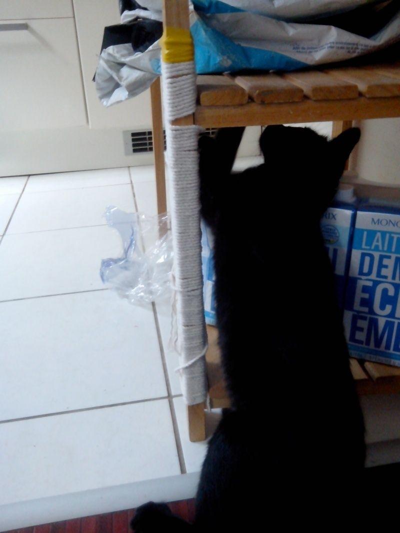 Jolicoeur, chaton type européen, noir née le 01/07/2014 Jol10