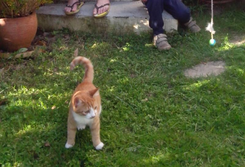 Jumanji, chaton type européen roux et blanc, né 15/06/2014 Jumanj12