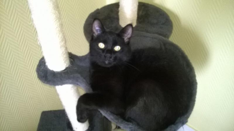 Jameson, chaton noir né le 11/04/2014 Wp_20114