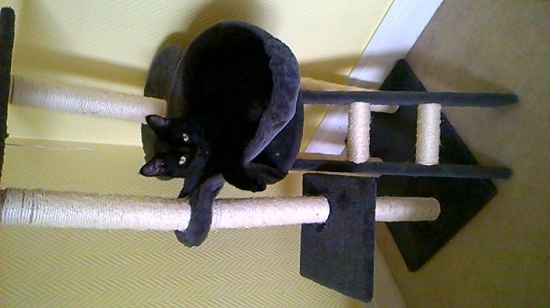 Jameson, chaton noir né le 11/04/2014 Wp_20116