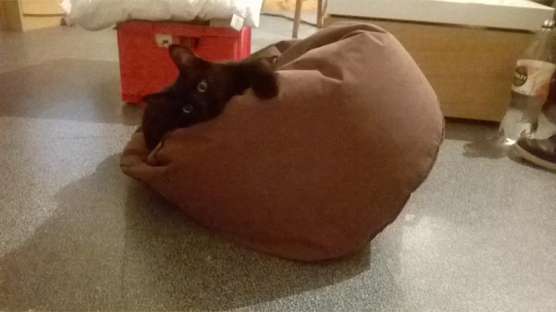 Jack, chaton mâle noir né le 19/04/2014 Wp_20119