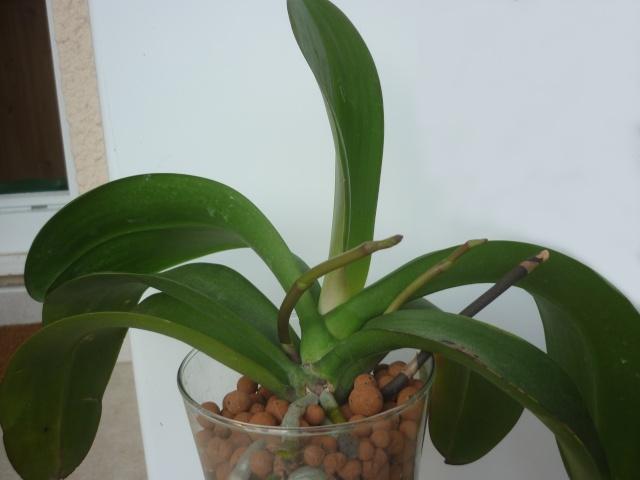 phalaenopsis violet noir P1160410