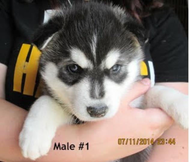 Wolf's Scrapbook!  Puppy_10