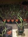 Besoin d'aide pour un trachycarpus fortunei  10250210