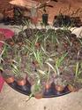 Besoin d'aide pour un trachycarpus fortunei  10413411