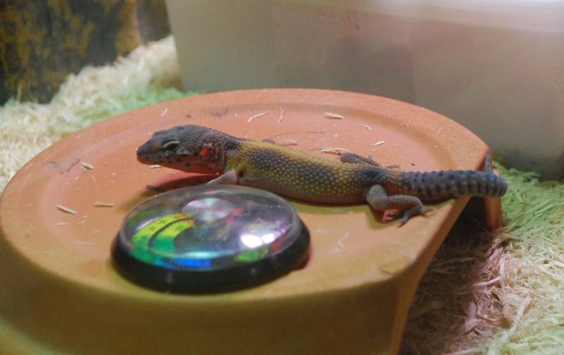 Gecko Léopard => Couleurs qui ternissent  Dsc_0110