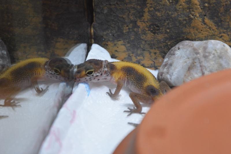 Gecko Léopard => Couleurs qui ternissent  Dsc_0411