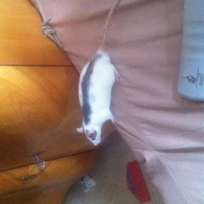 Besoin de photo de vos rats pour mon dossier ! Img_0212
