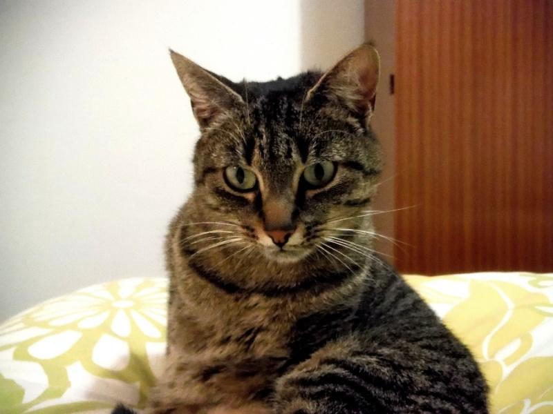 Halia, femelle type européen tigrée, née le 01/03/2012 en sauvetage! Dscf9711