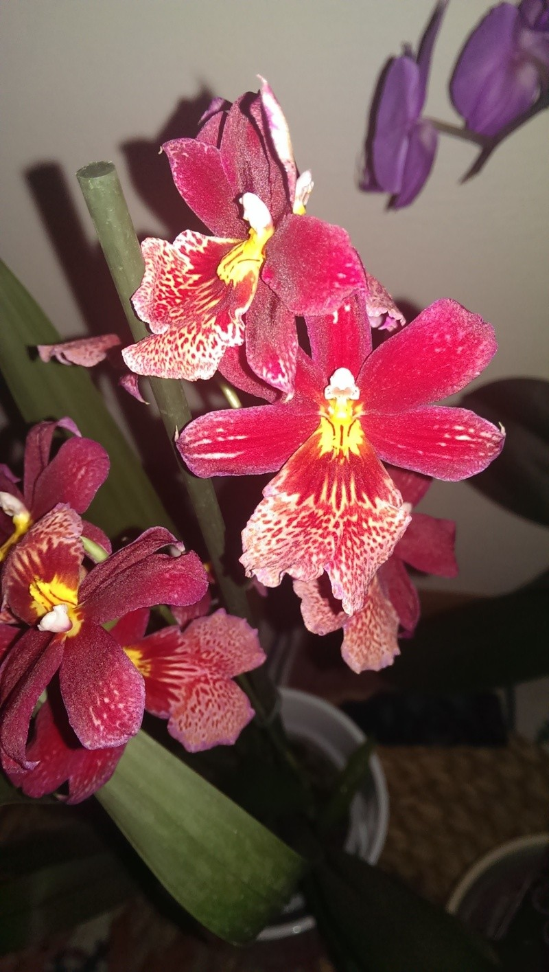 Rote Orchidee Imag0210