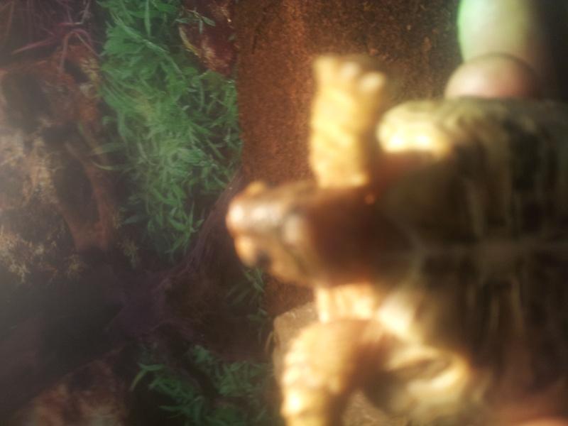 problème bec fendu stygmochelis pardalis 20141111