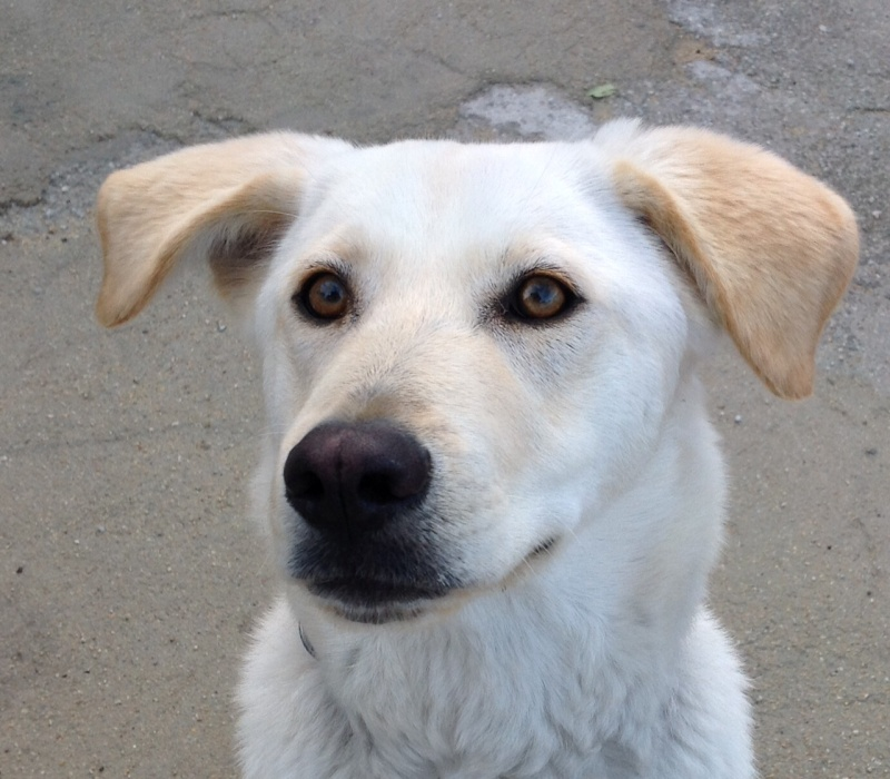 Dog FOUND a home, Lab puppy, sterilised, healthy, happy and sociable Missy_17