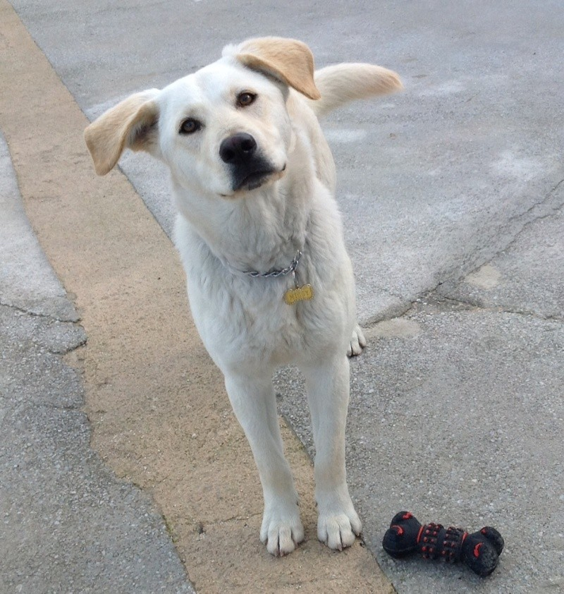 Dog FOUND a home, Lab puppy, sterilised, healthy, happy and sociable Missy_18