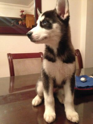 I want to know if this female husky pure or not !!!!??? 14064612