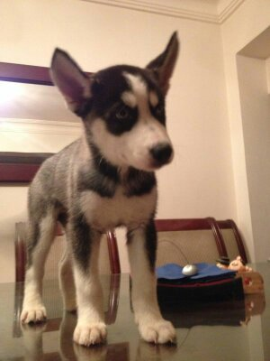 I want to know if this female husky pure or not !!!!??? 14064613