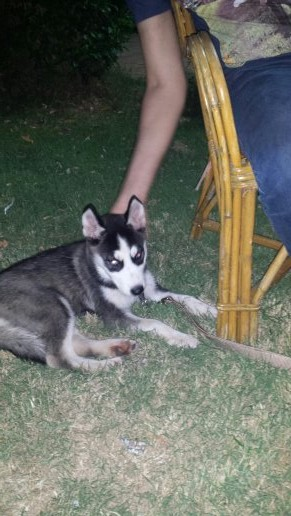I want to know if this female husky pure or not !!!!??? 14069312