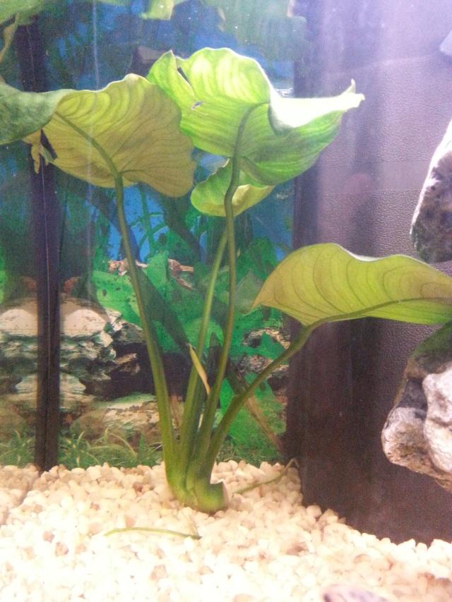 presentation de mon aquarium (debutant)60l eau douce  20141129