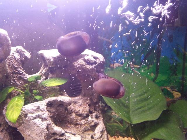 presentation de mon aquarium (debutant)60l eau douce  20141138