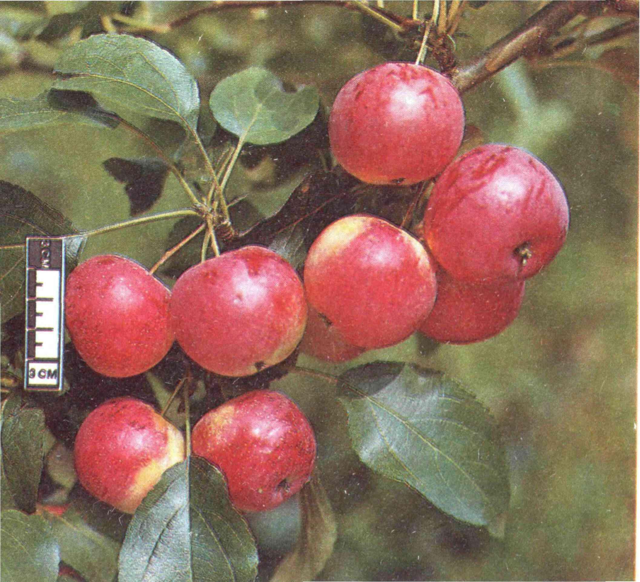 показалось мне яблоня жар птица описание фото срезал