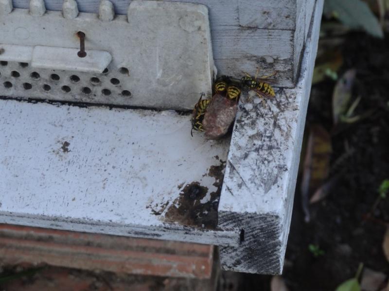 frelons tueurs d'abeilles Dsc02717
