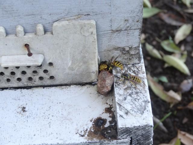 frelons tueurs d'abeilles Dsc02718