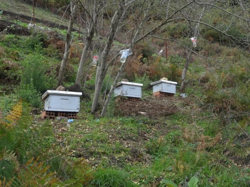 frelons tueurs d'abeilles Dsc02719