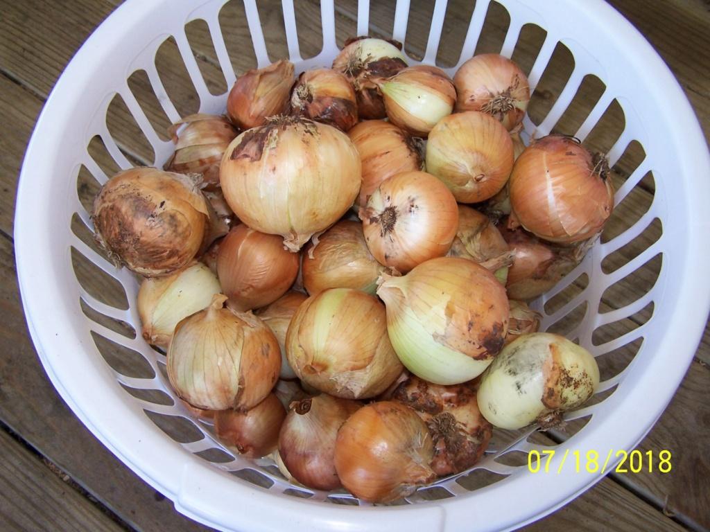 My Onion harvest 100_4016