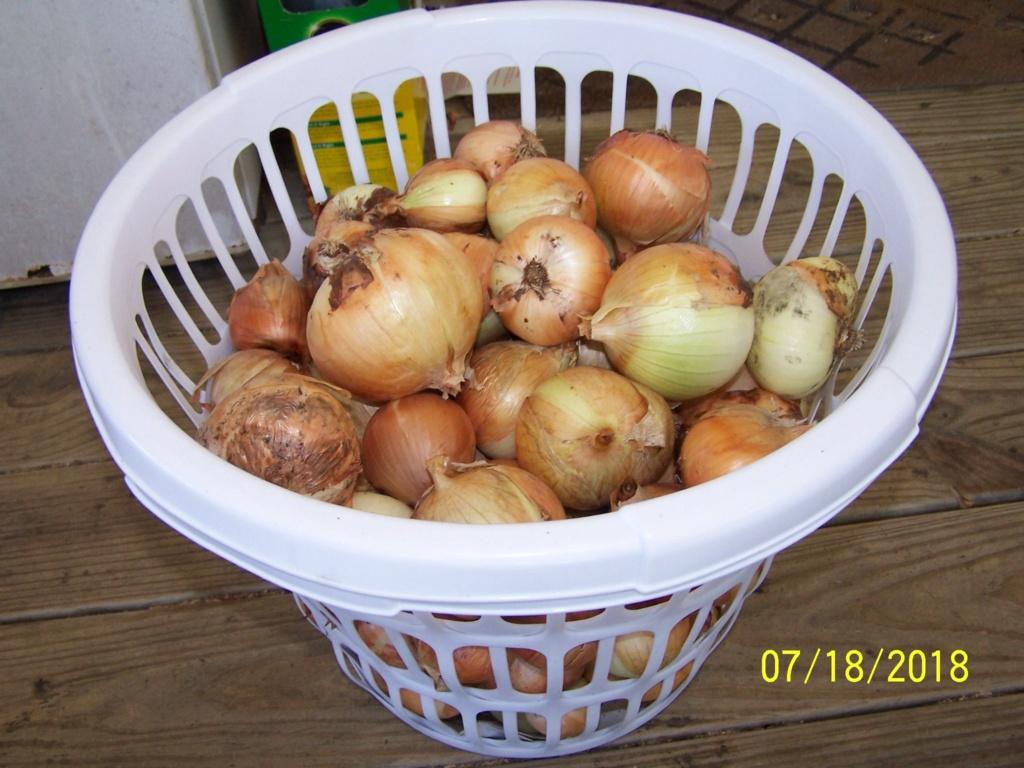 My Onion harvest 100_4017