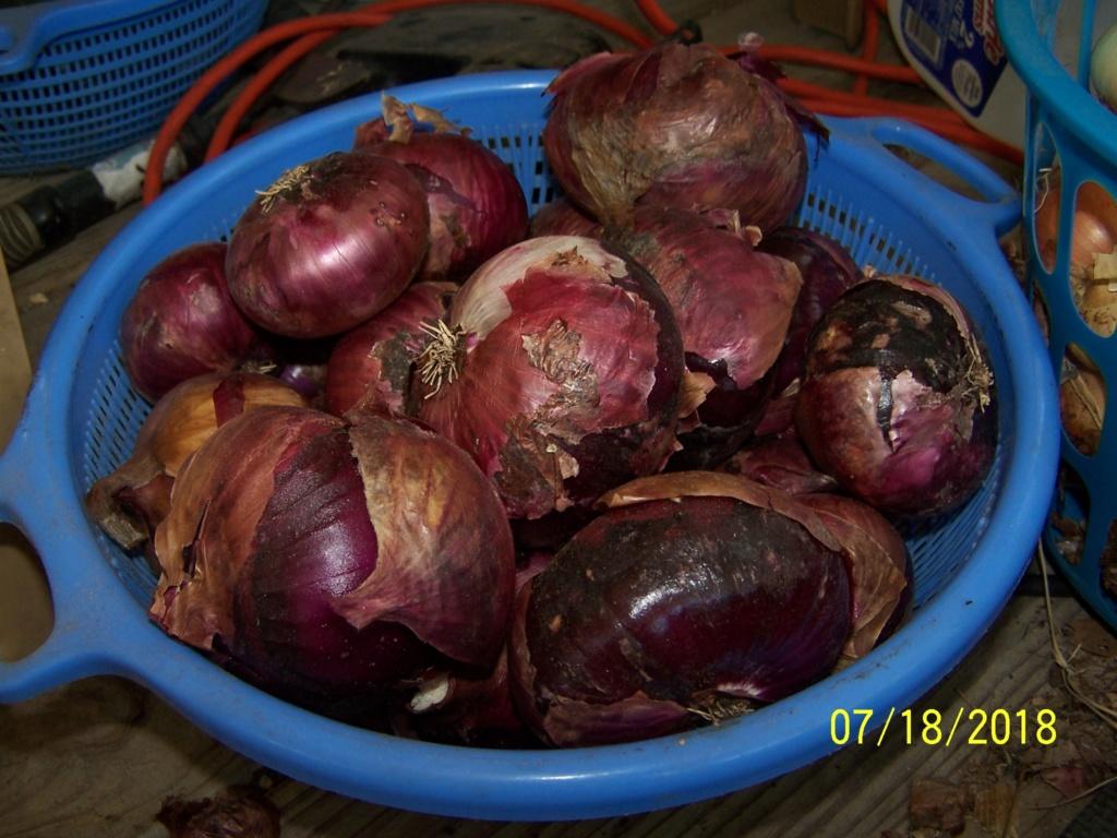 My Onion harvest 100_4019