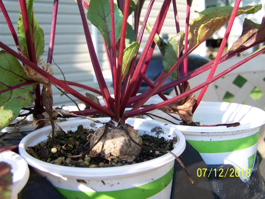 Beets in a cup update Beet_c10