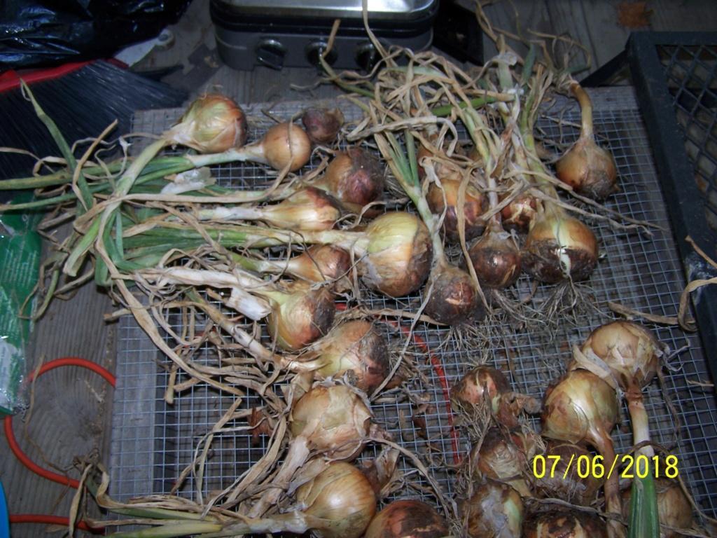 My Onion harvest Onyon210