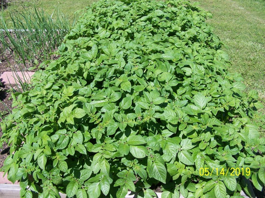 Catastrophe in my garden. Potato11
