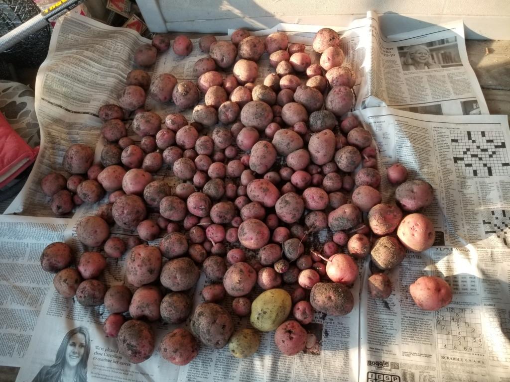 Potato growing - Page 3 Potato13