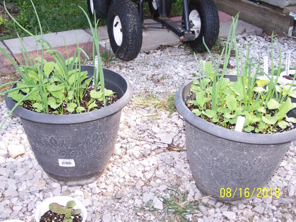 Mr. Booker's FALL garden. 2018 Salad_11